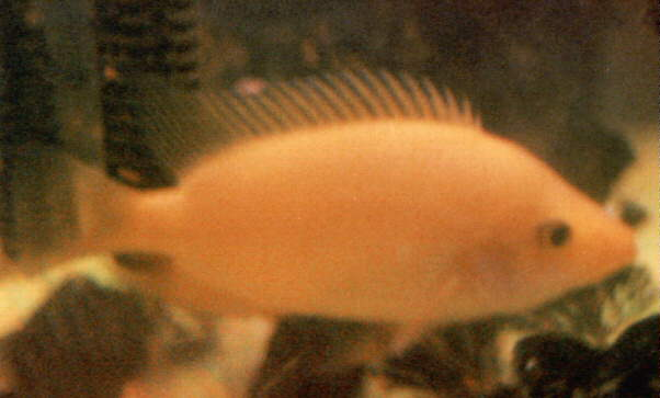 Tropical fish for Red devil fish for sale